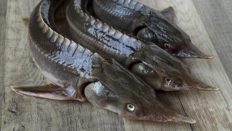 Đề nghị cơ quan quản lý Nhà nước kiểm tra, rà soát, làm rõ việc cấp Cites cho các doanh nghiệp nhập khẩu cá tầm vào Việt Nam hiện nay