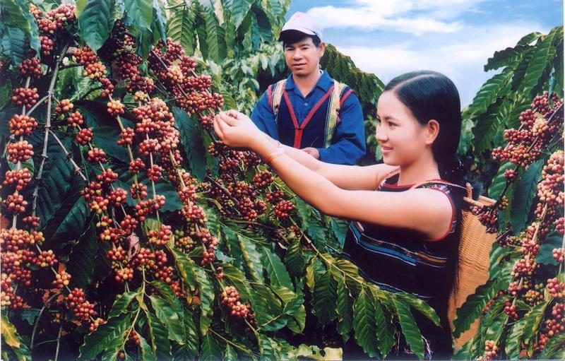 Cà phê xuất khẩu thô của Việt Nam không được hưởng lợi khi giá thế giới tăng cao