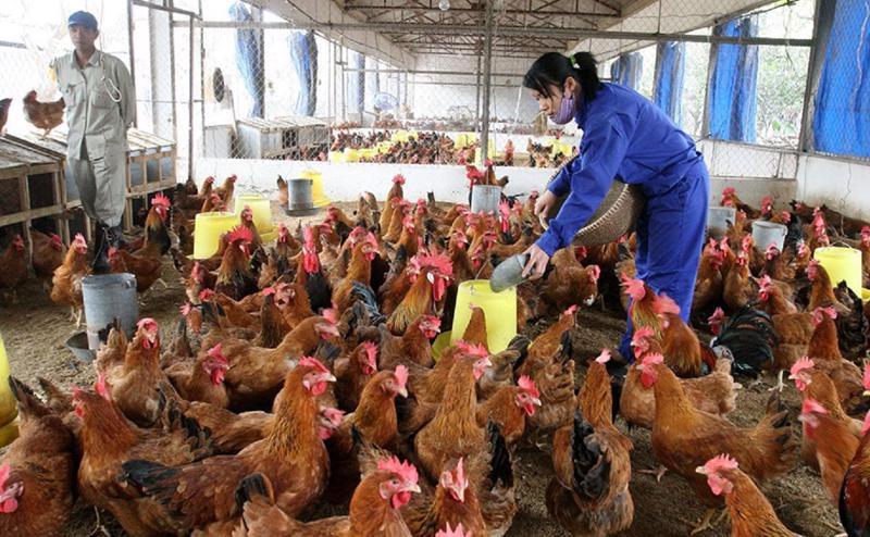 Giá gà công nghiệp rẻ hơn rau.