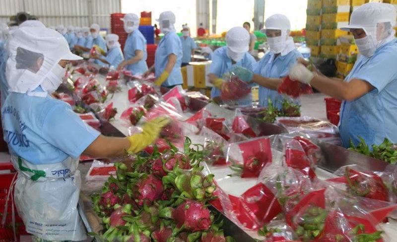 Thanh long Việt Nam xuất khẩu sang thị trường Trung Quốc chiếm trên 90% tổng giá trị xuất khẩu.