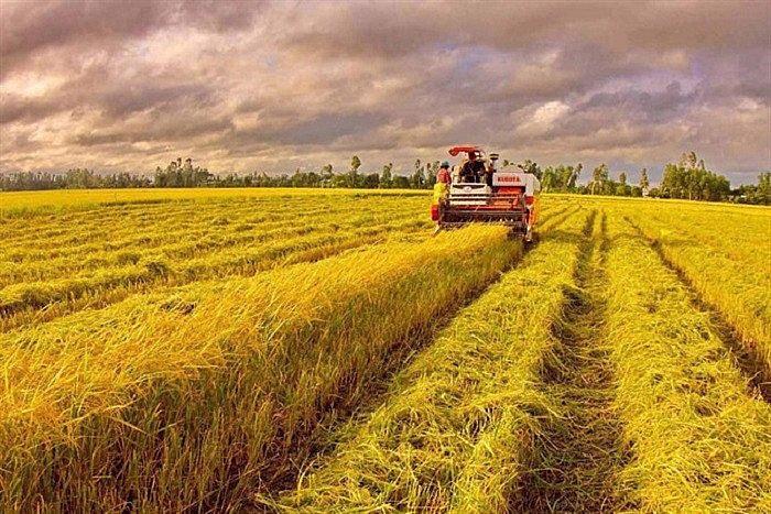 4 tỉnh thành gồm An Giang, Kiên Giang, Đồng Tháp và Thành phố Cần Thơ hiện còn tồn khoảng 3 triệu tấn lúa