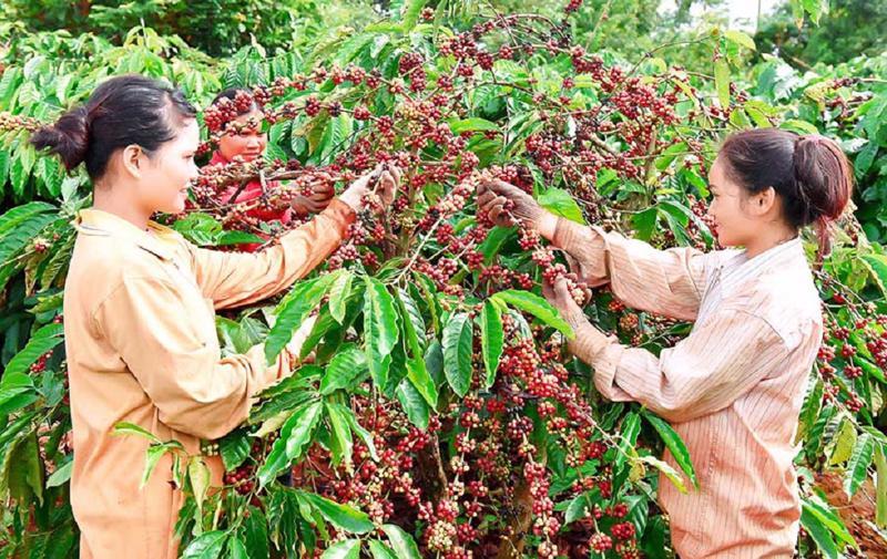 99% cà phê Việt xuất khẩu sang Nga là cà phê thô.