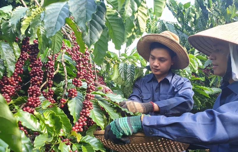 Xây dựng vùng chuyên canh cà phê ở Gia Lai, Đắk Lắk.