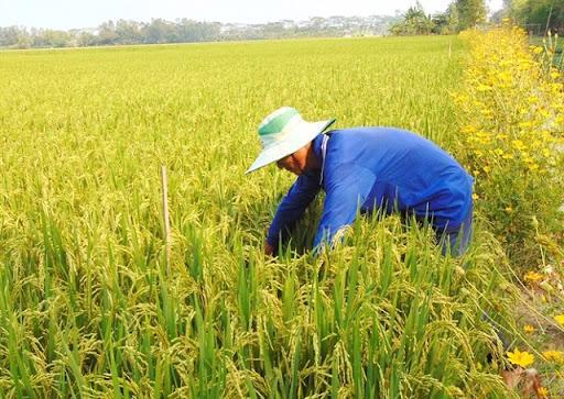 Ngân hàng mong muốn tăng hạn mức tín dụng để đáp ứng nhu cầu ngành lúa gạo