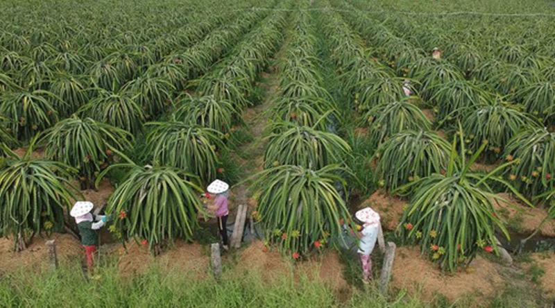 Mã số vùng trồng giúp nông sản rộng đường xuất khẩu.
