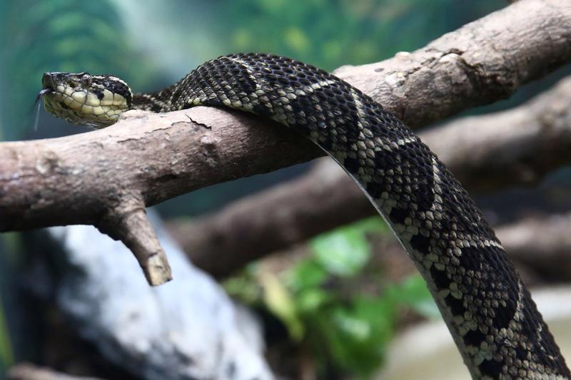 Rắn Jararacussu là một trong những loài rắn lớn nhất ở Brazil, có chiều dài lên tới 2 mét - Ảnh: Reuters.