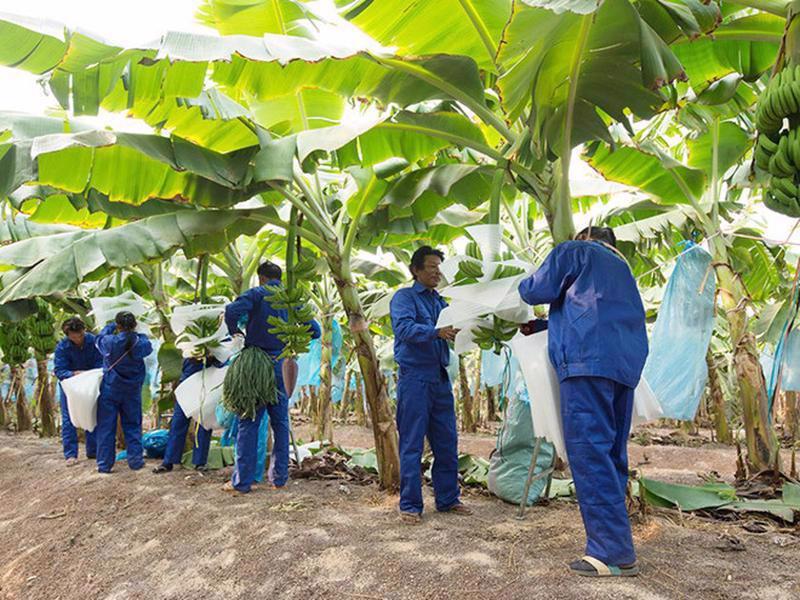 HNG dự kiến sản lượng trái cây thu hoạch quý 3/2021 đạt 24.586 tấn, tăng lên 40% so với quý 2/2021 (17.562 tấn) - trong đó, chuối 22.453 tấn.
