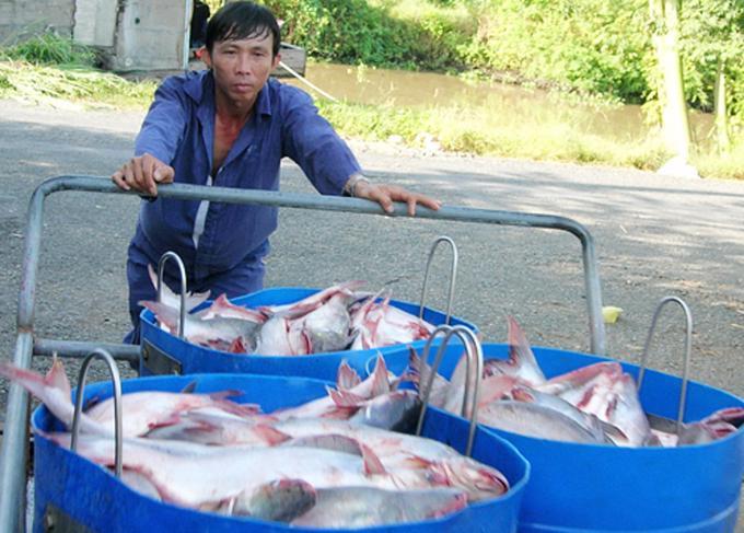 Cá tra quá lứa, nhưng doanh nghiệp không thể đến thu mua.