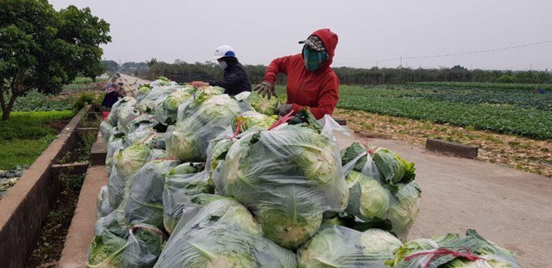 Nông dân xã Song Phương đóng túi rau chờ thương lái đến thu mua.