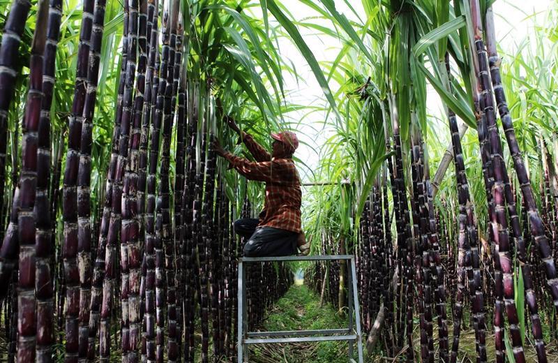 Đường mía nhập khẩu gây khó khăn cho ngành sản xuất trong nước.