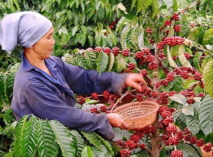 8 tháng đầu năm 2021, xuất khẩu cà phê của Việt Nam đạt 1,08 triệu tấn.