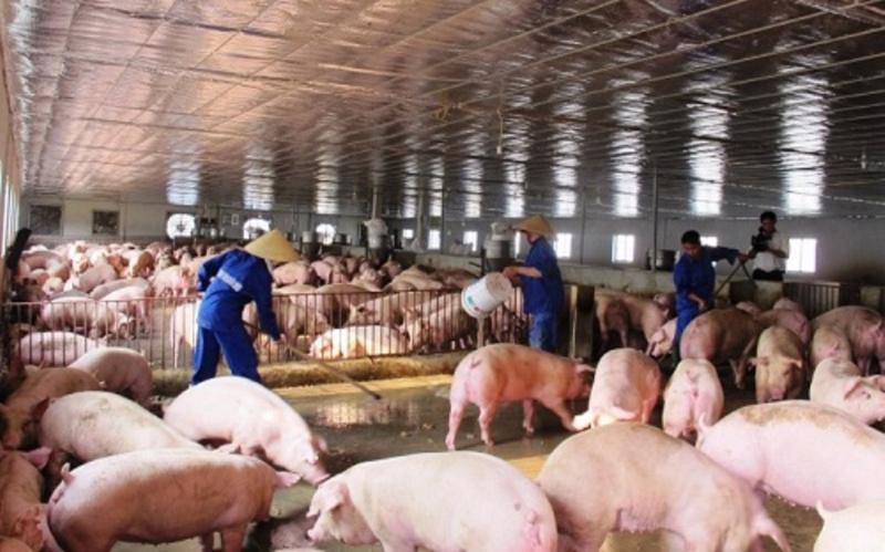 Chăn nuôi lợn đang lao đao.