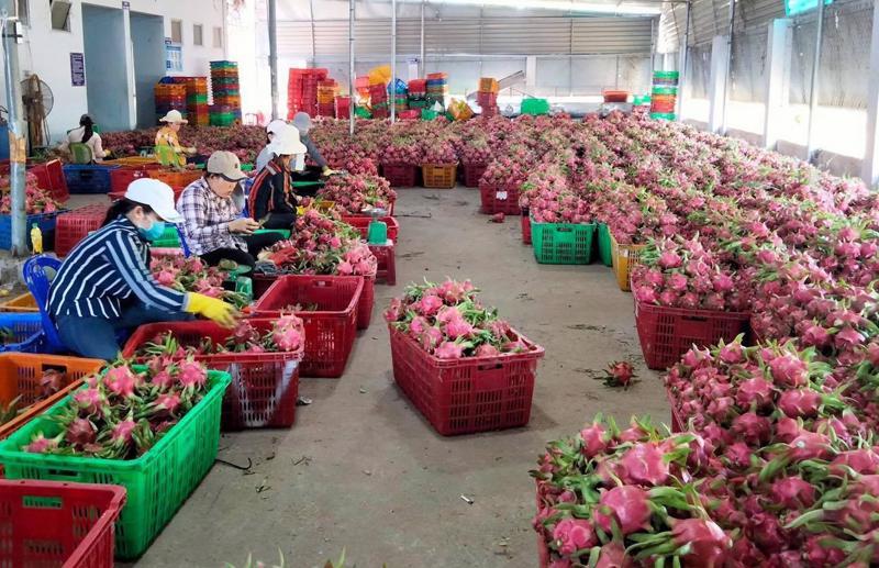 Cơ hội cho thanh long Bình Thuận vào Nhật Bản và các thị trường khó tính.