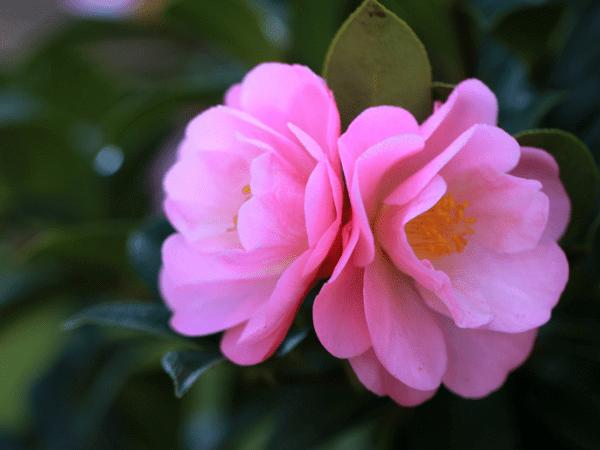Những cây hoa có thể trồng trong nhà vào mùa đông - Ảnh 2.