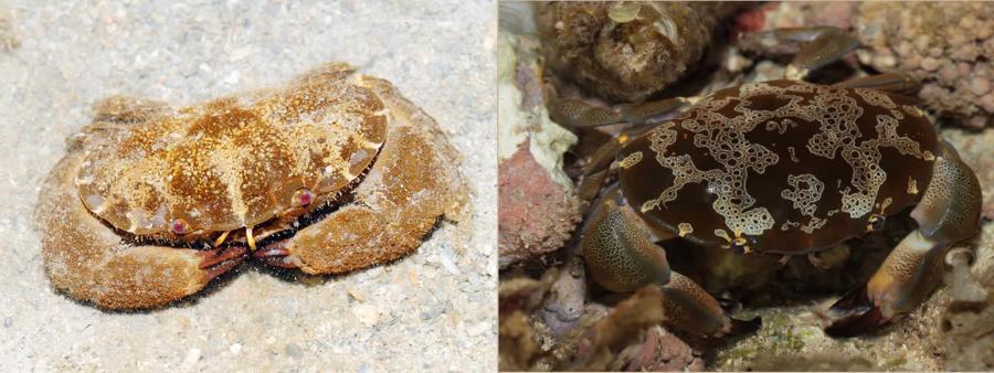 3 loại cua biển có độc tính mạnh, tuyệt đối không nên ăn - Ảnh 2.