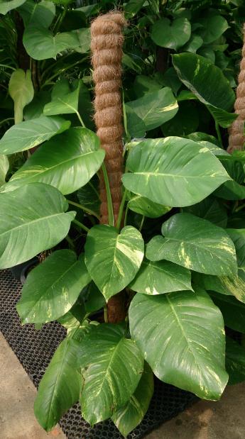 7 cây cảnh phù hợp để trồng trong nhà - Ảnh 5.