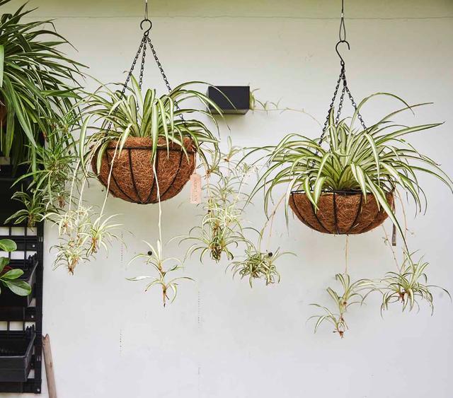 7 cây cảnh phù hợp để trồng trong nhà - Ảnh 3.