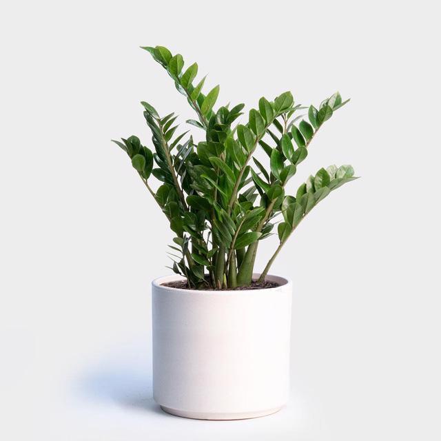 7 cây cảnh phù hợp để trồng trong nhà - Ảnh 6.