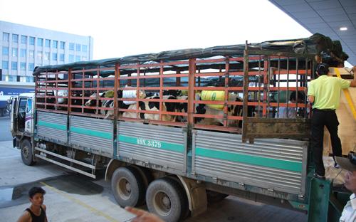 Vinamilk tiếp tục nhập bò sữa cao sản từ Úc về Việt Nam 5