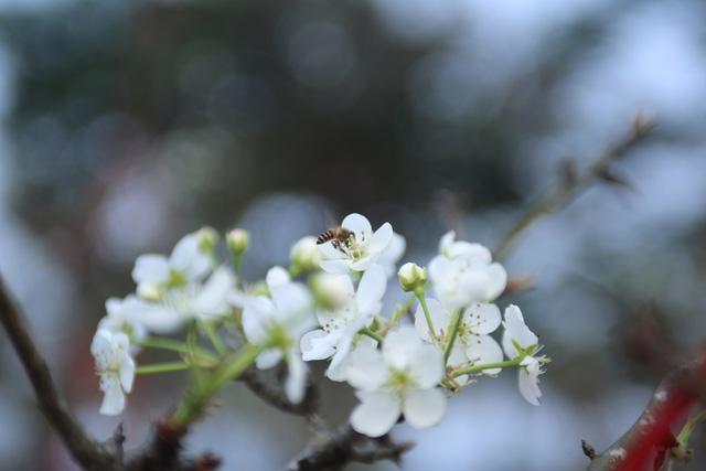 Hoa lê trắng giá rẻ hơn mọi năm nhưng vẫn vắng khách - Ảnh 9.