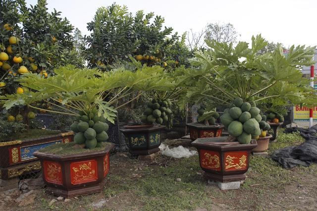Cây đu đủ bonsai bày Tết được nhiều người săn lùng - Ảnh 1.