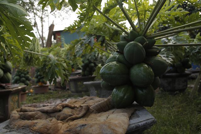 Cây đu đủ bonsai bày Tết được nhiều người săn lùng - Ảnh 6.