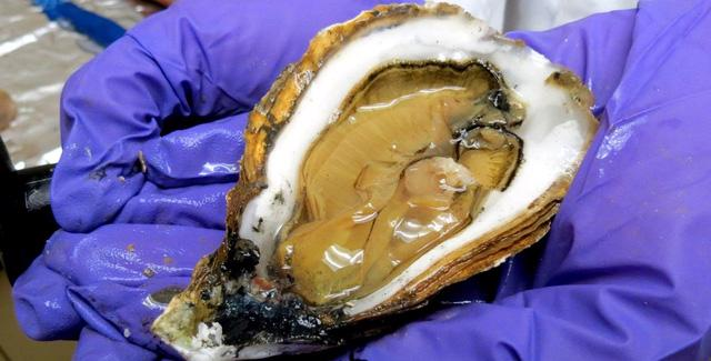 Hạt vi nhựa nhiễm trong loại hải sản nào nhiều nhất? - Ảnh 1.