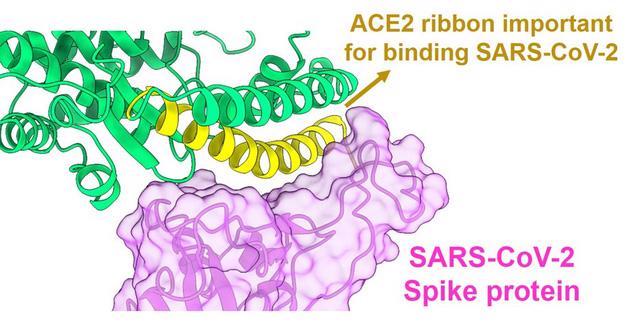 Nghiên cứu mới về đánh lừa virus SARS-CoV-2 để ngăn lây nhiễm - Ảnh 1.
