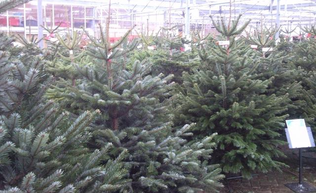 Thị trường cây thông Noel: cây thật giá cao vẫn đắt khách - Ảnh 1.
