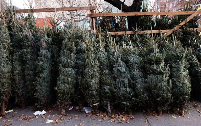 Thị trường cây thông Noel: cây thật giá cao vẫn đắt khách - Ảnh 2.