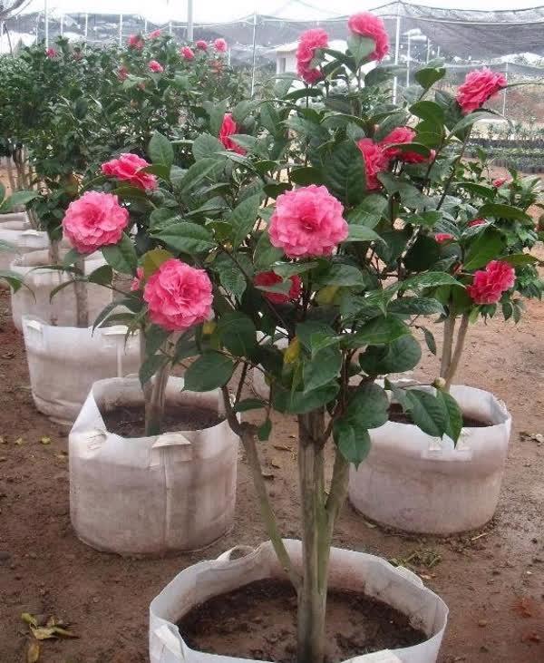 Thị trường cây cảnh đón Tết: hoa nội lên ngôi - Ảnh 2.