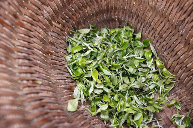 Shan Tuyết – trà 5 cực của Việt Nam - Ảnh 2.