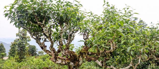 Shan Tuyết – trà 5 cực của Việt Nam - Ảnh 1.