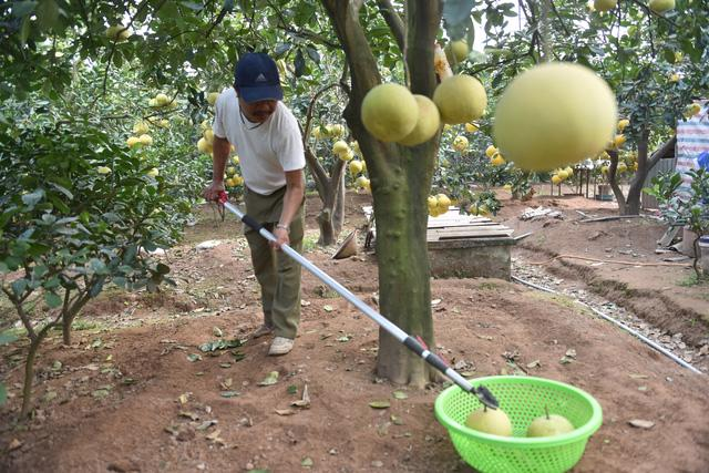 Vườn bưởi Diễn trĩu quả sẵn sàng phục vụ Têt Nguyên Đán - Ảnh 4.
