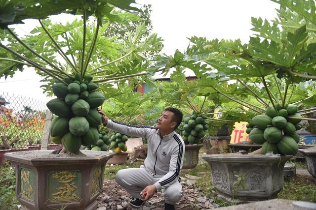 Cây đu đủ bonsai bày Tết được nhiều người săn lùng - Ảnh 7.