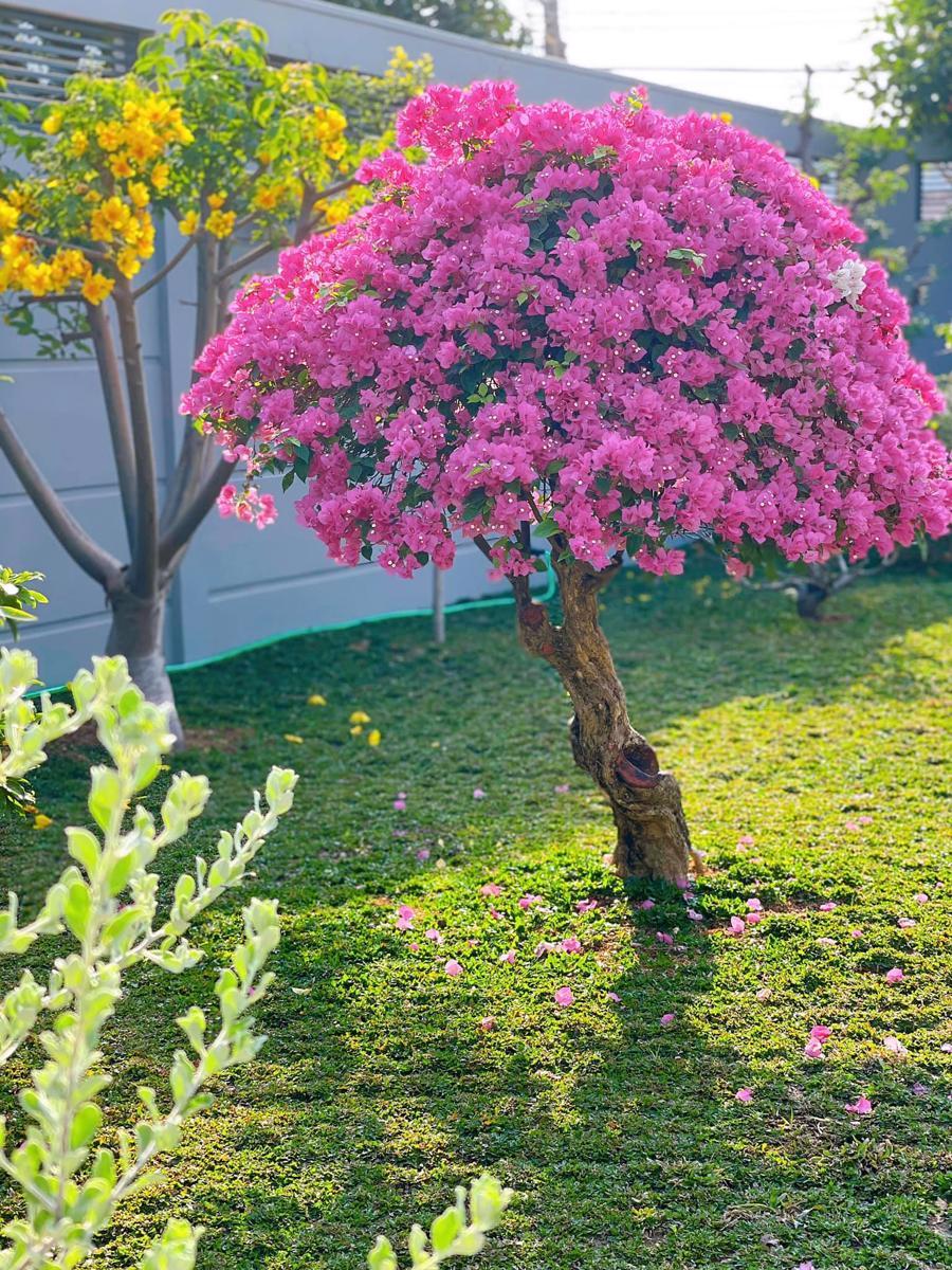 ... và những cây hoa giấy luôn bung nở rực rỡ.