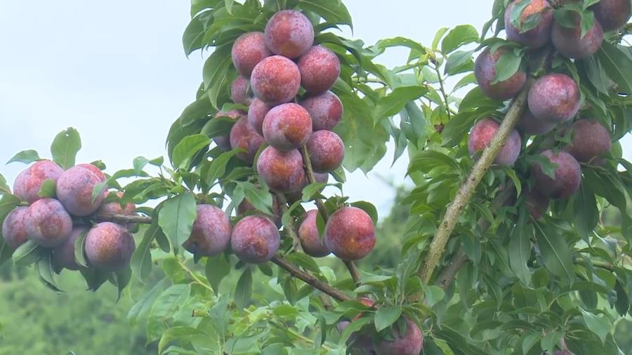 Mận hậu là nông sản tiếp theo của Sơn La được đưa lên sàn thương mại điện tử.