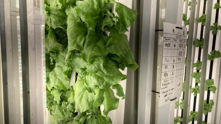Trang trại Commonwealth Greens có thể thu hoạch tới 100 tấn rau mỗi năm - Ảnh: Nikkei Asia