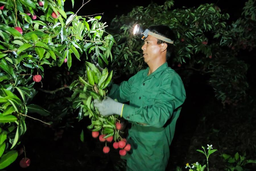 Thâu đêm thu hoạch vải tại thủ phủ vải thiều Lục Ngạn, Bắc Giang.