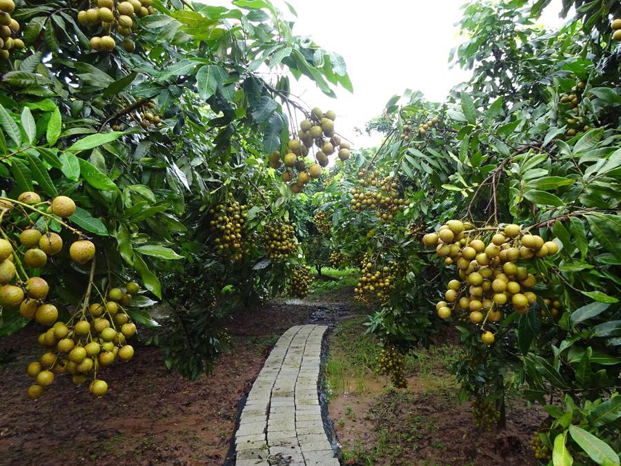 Hiện nay Nhật Bản chưa cho phép nhập khẩu chính thức quả nhãn tươi của    Việt Nam.
