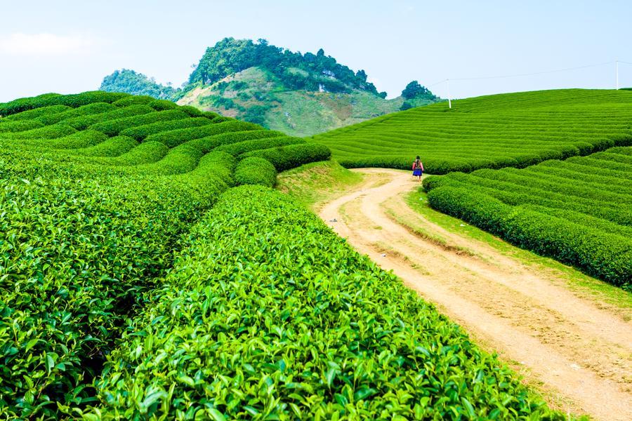 TH true TEA sử dụng trà nguyên liệu được trồng ở các vùng chè cao nguyên nổi tiếng Việt Nam như Mộc Châu (Sơn La), Hà Giang.