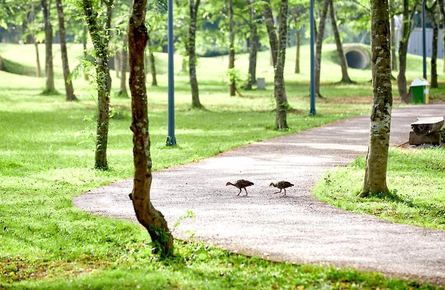 Khu đô thị cách hồ Hoàn Kiếm 14 km có thiên nga, vịt trời đi lại tự do trên đường - Ảnh 8