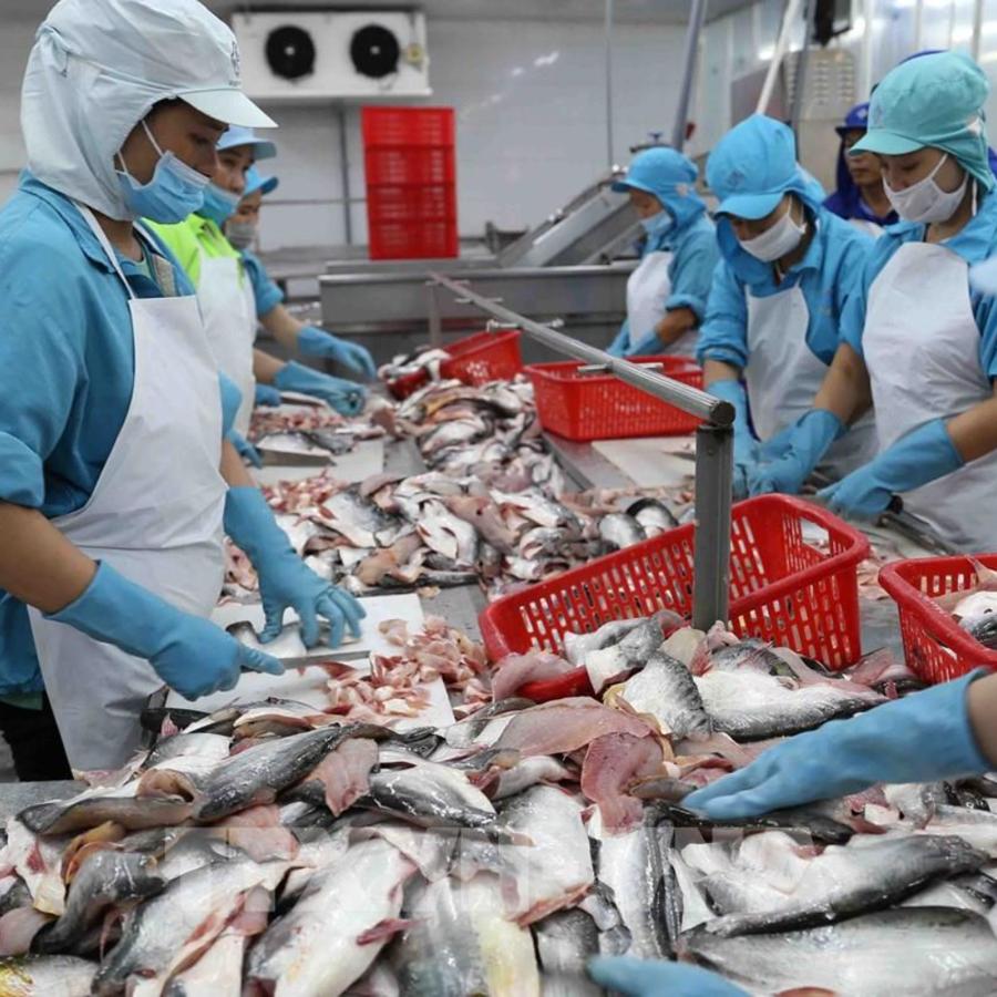 """Các doanh nghiệp cá tra cho rằng, khó khăn lớn nhất của các nhà máy chế biến là thực hiện """"3 tại chỗ"""" vì phát sinh quá nhiều chi phí."""